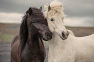 Portrait of two horses side by side, one black and one white