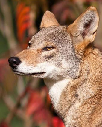 Red Wolf headshot