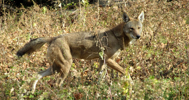 Red-Wolf-from-EWC-web