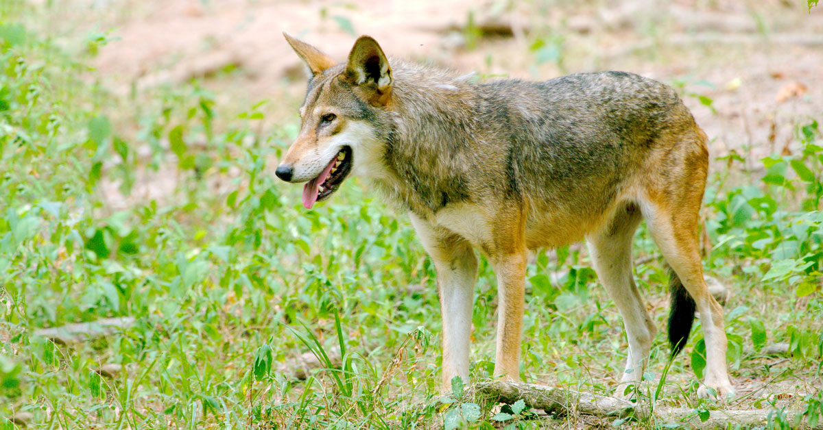An American Red Wolf walking
