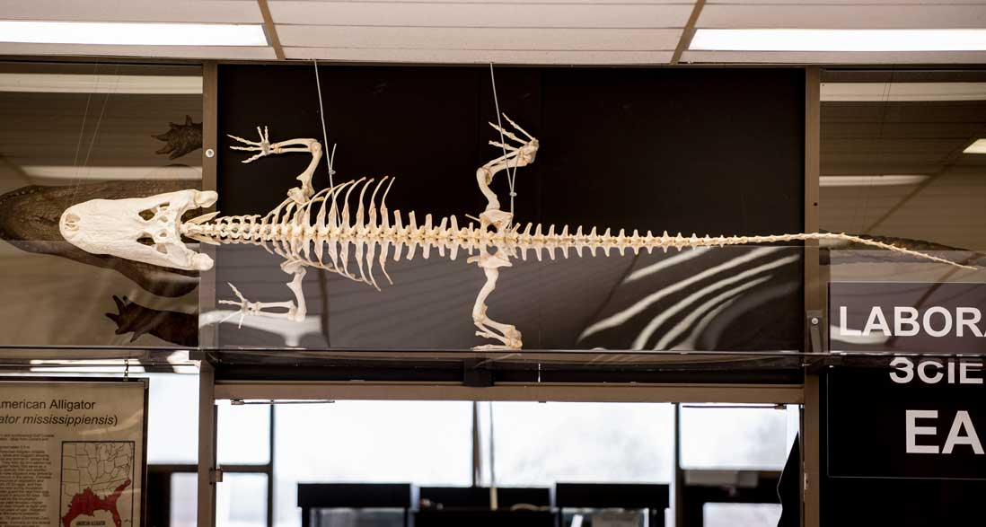 American alligator skeleton