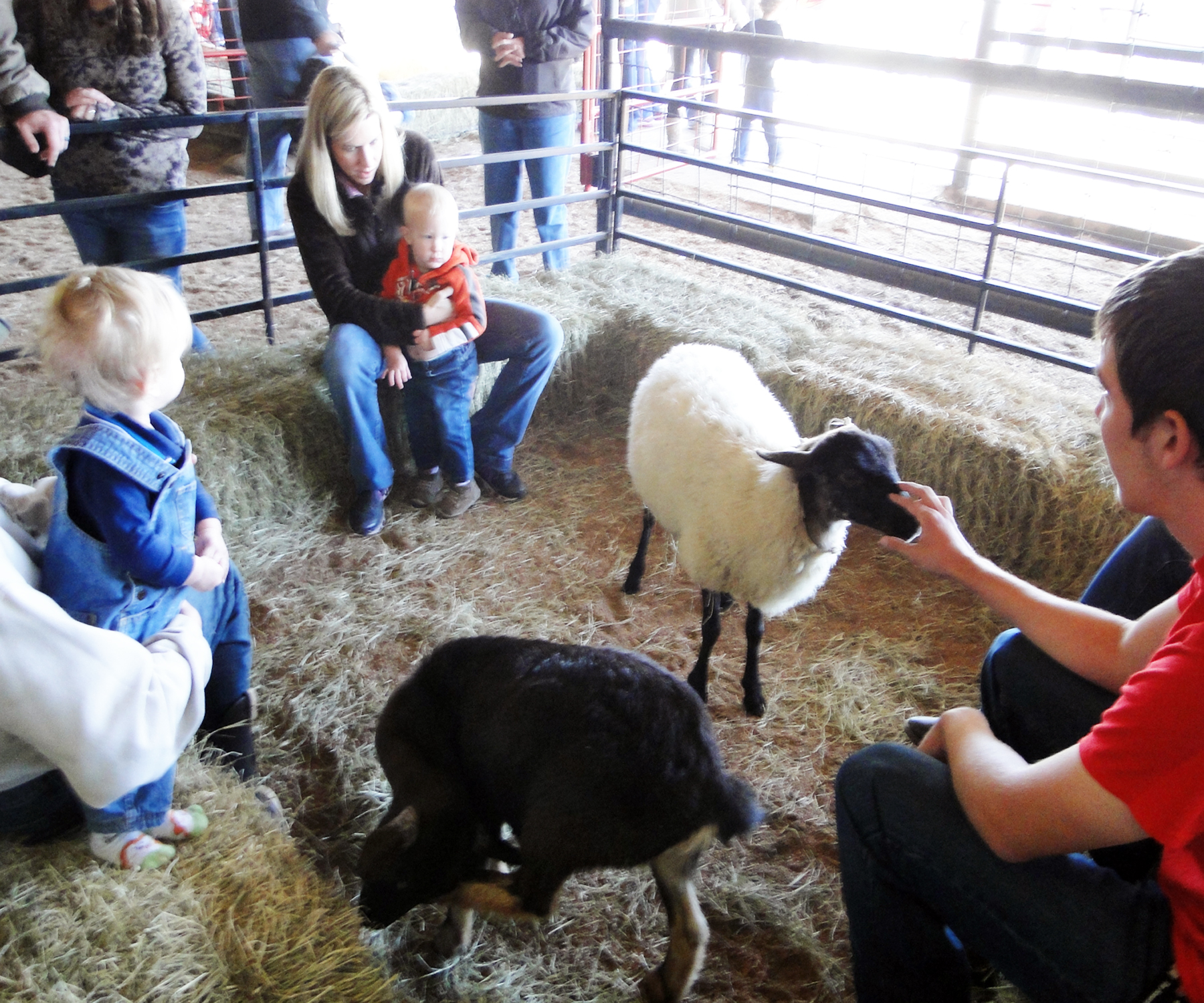 Petting Zoo Sheep