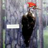 preserved large woodpecker with red head in the Natural History Exhibit